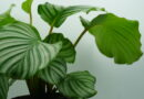 Calatheas New To Houseplant World